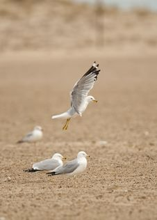 Free Seagull Takeoff Royalty Free Stock Images - 14397999