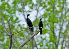 Free Double Creasted Cormorants Stock Images - 14398054