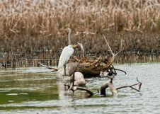 Free White Heron In Marsh Stock Image - 14398091