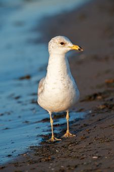 Free Seagull On The Beach Stock Photo - 14398110