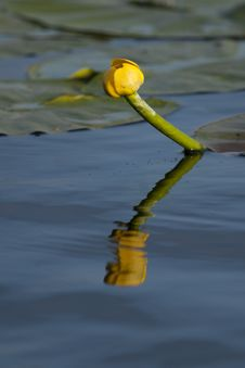 Free Spatter Dock Or Large Pond Yellow Lily Stock Photo - 14398360