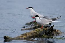Common Tern Pair On A Log Royalty Free Stock Photography