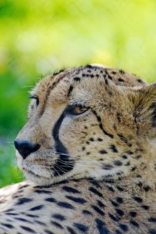 Free Cheetah Royalty Free Stock Photo - 14398765