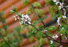 Free Cherry Blossom Royalty Free Stock Photos - 14399018