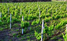 Free Vineyard Royalty Free Stock Photography - 14399757