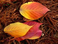 Free Spear Shaped Autumn Leaves Stock Photography - 14399932