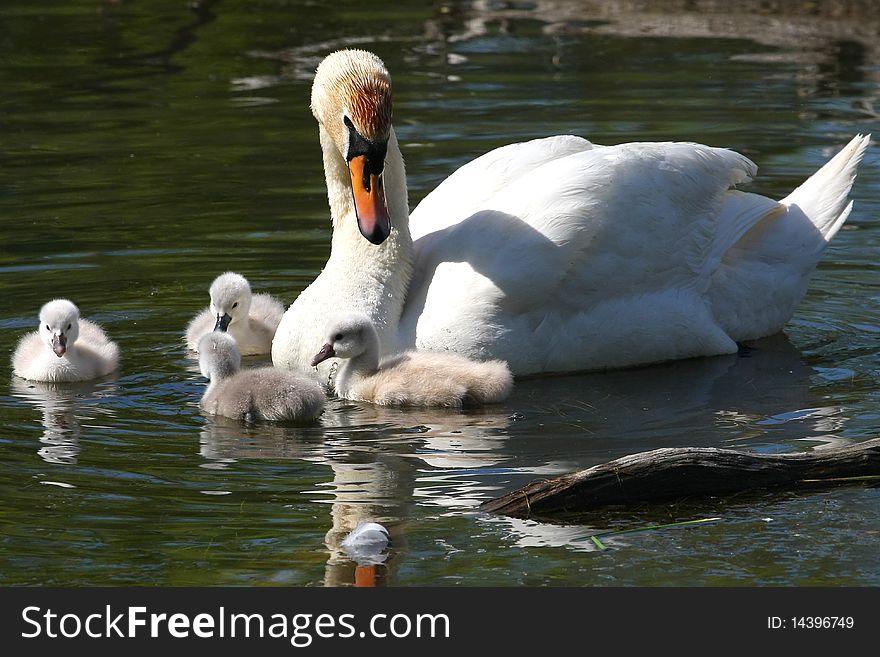 Mute Swan & Cygnets