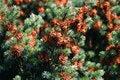 Free Pine Cone Stock Photos - 1448653