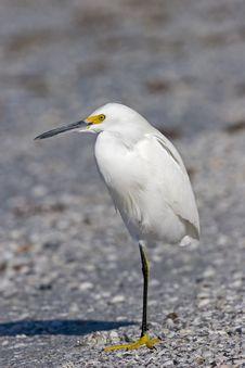 Free Snowy Egret Stock Image - 1440411