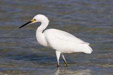 Free Snowy Egret Royalty Free Stock Image - 1440416