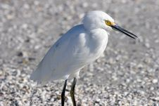 Free Snowy Egret Royalty Free Stock Images - 1440499