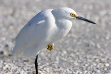 Free Snowy Egret Stock Photography - 1440512
