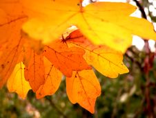 Free Colorful Leaves Royalty Free Stock Photography - 1441697