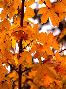 Free Colorful Leaves Royalty Free Stock Images - 1441719