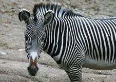 Free Zebra Stock Photography - 1442172