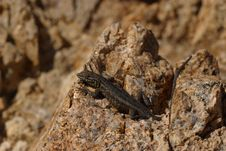 Free Desert Side-Blotched Lizard Stock Photo - 1442380