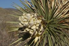 Joshua Tree Bloom Stock Image