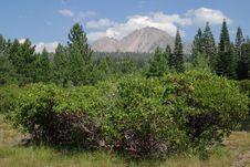 Free Manzanita Tree Stock Photo - 1442740