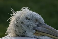 Free Pelican Stock Images - 1443244