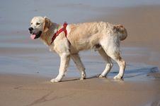 Free Labrador Dog Royalty Free Stock Image - 1443736
