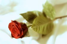 Free Hazy Red Rose On White Sheet Royalty Free Stock Image - 1446226