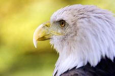 Free Bald Eagle (Haliaeetus Leucocephalus) Profile Dark Eye Royalty Free Stock Photo - 1446325