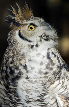 Great Horned Owl (Bubo Virginianus) Looks Up Stock Image
