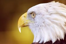 Free Bald Eagle (Haliaeetus Leucocephalus) Close Up Profile Royalty Free Stock Photo - 1446335