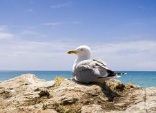 Free Seagull Royalty Free Stock Image - 1446426