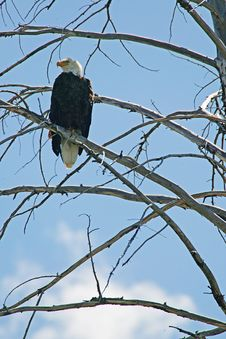 Free Bald Eagle Up On Ladder Stock Photos - 1446683