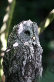 Free Great Grey Owl Stock Photo - 1447520