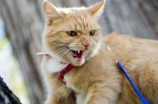 Free Cat Having A Hissy Fit Royalty Free Stock Photography - 1447637