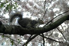 Free Squirrel In Tree Stock Photos - 1447693