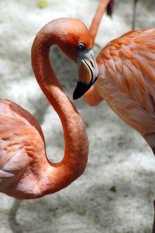 Free Flamingo Royalty Free Stock Image - 1447866