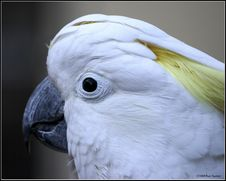 Free Cockatoo Stock Images - 1448434