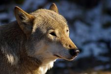 Free Wolf Portrait Royalty Free Stock Images - 1448549