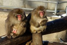 Free Japanese Macaques Stock Images - 1448574
