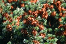 Free Pine Cone Stock Photos - 1448653