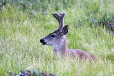 Free Mule Deer Stock Images - 1449404
