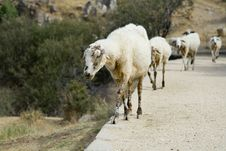 Free Line Of Sheep Royalty Free Stock Images - 1449809