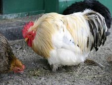 Free Poultry-yard 7 Royalty Free Stock Photography - 1449867