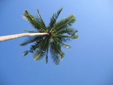 Free Palm Tree Reaching For Sky Stock Photography - 1449952