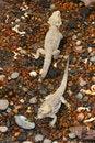 Free Iguana Stock Photos - 14400603
