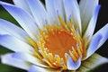 Free Blue Petals Lotus Royalty Free Stock Photos - 14404598