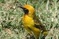 Free Africa, Seronera Portrait Weaver Bird Stock Photos - 14405073