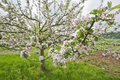 Free Blossoming Apple Trees Royalty Free Stock Images - 14408399