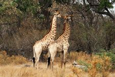 Two Giraffes Stock Photos