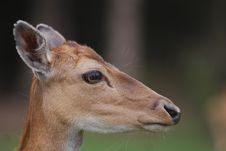 Free Roe-deer Stock Photo - 14400240
