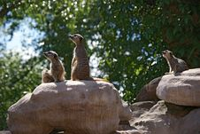 Free Meerkats Stock Photos - 14400333