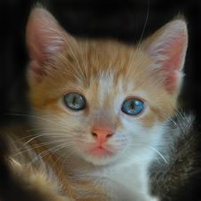 Free Red Kitten With Blue Eyes Royalty Free Stock Photos - 14400348